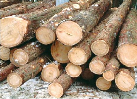 原木を玉切り